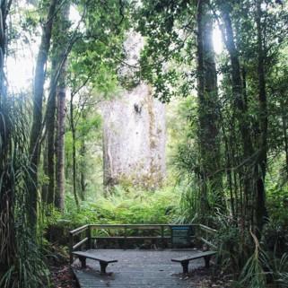 Jour 213 : Waipoua Forest, là où les arbres ne sont pas fâchés avec le pâté 🌳🌲